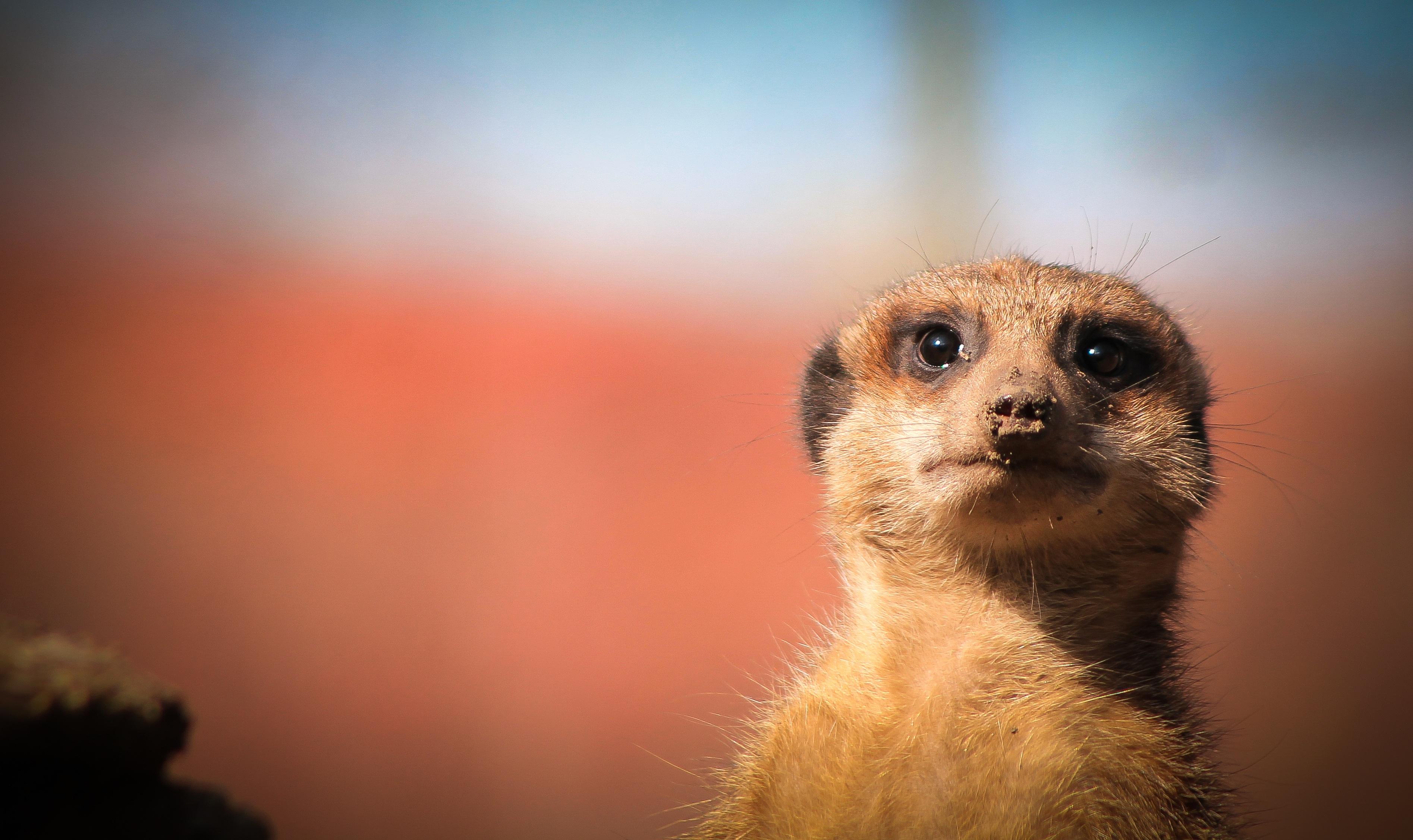 meerkat-706544